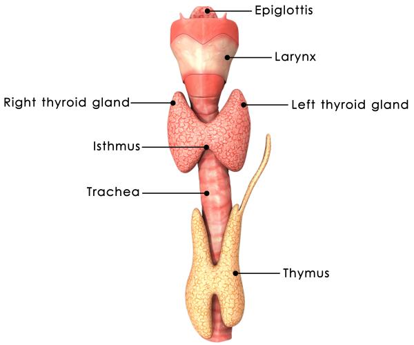 Thyroid Concerns Thyroid Health L Chiropractor Pooler Ga